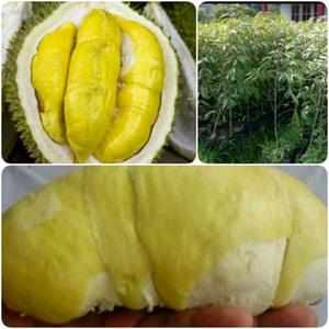 Durian Kumbokarno Tinggi Lebih dari 60 cm