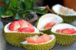 Durian Merah Unggul Tinggi 30-60 cm