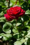 Bunga Mawar Merah Okulasi 20-30 cm