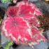 Tanaman Begonia Red Rex Warna Merah