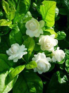 Bunga Melati Tuscany/Melati Telur Warna Putih