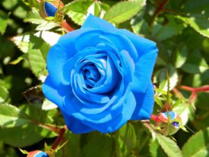 Benih Biji Bunga Mawar Biru Impor (Blue Rose)