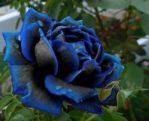 Benih Bunga Mawar Midnight Supreme Rose