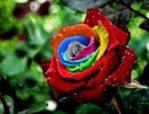 Biji Bunga Mawar Mystic Rainbow Rose