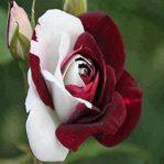 Biji Bunga Mawar Hitam-Putih Zampa Dust Rose
