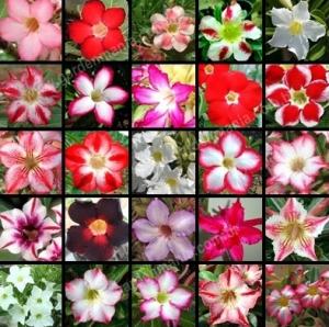 Bibit Bunga Adenium 20-30 cm Variasi Baru Aneka Rupa
