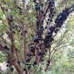Anggur Brazil alias Anggur Pohon, Bibit Unggul dan Banyak Cabangnya
