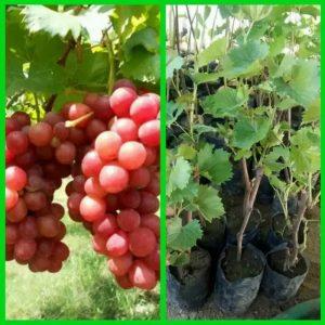 Bibit Anggur Merah Mudah Ditanam dan Cepat Berbuah