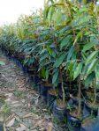 Durian Montong Super dari Okulasi 40-50 cm
