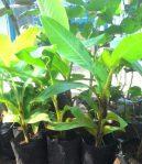 Bibit Pisang Kepok Kuning Super 50-70 cm, Siap Dibudidayakan!