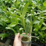 Anggrek Dendrobium Pra-Remaja, Jenisnya Acak Ya!