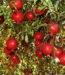 Bibit Buah Delima Merah Sudah Berbunga Siap Berbuah