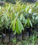 Durian Merah Cangkok Okulasi,Durian dengan Daging Berwarna Merah