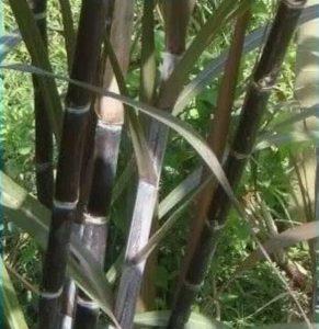 Stek Batang Tebu Ireng, Tebu Hitam, atau Tebu Wulung Asli