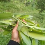 Stek Batang Vanili Panjang 30-35 cm untuk Budidaya