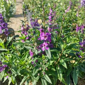 Lavender Lokal, Pohon Angelonia Mirip Seperti Lavender, Cantik Banget!
