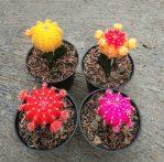 Kaktus Gymno, Kaktus Impor dengan Warna Cerah yang Cantik