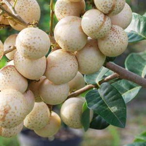 Bibit Kelengkeng Matanaga alias Kelengkeng Aroma Durian