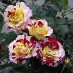 Bibit Bunga Mawar Murah Meriah Pilihan Warnanya Banyak Sekali
