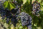 Bibit Anggur Hitam Impor Jenis Kyoho dan Black Magic, Kualitas Tinggi