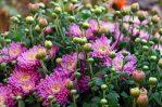 Aneka Bunga Krisan Warna-warni Cantik Sekali