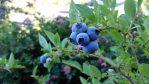 Bibit Pohon Blueberry 40-60 cm Sudah Berbuah