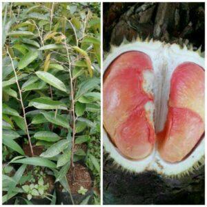 Bibit Buah Durian Pelangi, Buahnya Warna-warni Merah Kekuningan