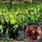 Bibit Kakao Unggul dari Okulasi, Tanaman Penghasil Cokelat