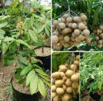 Bibit Kelengkeng Aroma Durian, Buahnya Unik Punya Bau Khas Durian