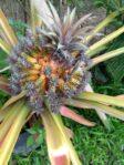 Bibit Nanas Medusa Bali, Tanaman Nanas Hias yang Aneh Sekali