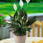 Bibit Tanaman Spatufhillum Alias Peace Lily, Si Tanaman Pembersih Udara