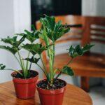 Bibit Tanaman Indoor Pilo Jari (Philodendron Selloum) yang Indah Sekali