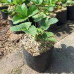 Bibit Strawberry California, Jenis Strawberry yang Besar dan Manis Segar