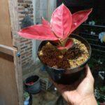 Bibit Aglonema Red Suksom Jaipong, Warna Merahnya Beneran Menggoda