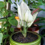 Bibit Aglonema Super White, Daunnya Berwarna Putih & Anggun Sekali