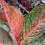 Bibit Aglonema Tiara Merah, Tanaman Aglonema yang Penuh Kharismatik