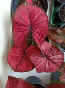 Bibit Tanaman Caladium Red Dragon, Daun Berwarna Merah & Keren Sekali