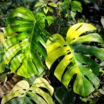 Bibit Tanaman Monstera Yellow Variegata, Daunnya Unik Warna Hijau-Kuning