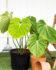 Bibit Philodendron Mc Dowel, Daun Philodendron yang Paling Segar & Indah