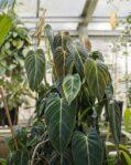 Bibit Philodendron Melanochrysum, Tanaman Philo Melano yang Anggun