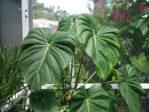 Bibit Tanaman Philodendron Paztazanum, Ukuran Daunnya Ekstra Besar