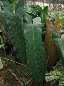 Bibit Philodendron Sharoniae, Tanaman Phelo dengan Ukuran Ekstra Jumbo