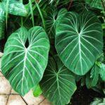 Bibit Philodendron Splendid, Daunnya Bisa Sampai Ukuran Besar & Jumbo