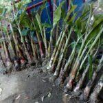 Bibit Pisang Mulya FHIA-17 100% Asli Dikirim Langsung dari Dampit, Malang