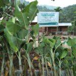 Bibit Pisang Kepok Sumatera/Pisang Kepok Tanjung, Tandannya Panjang Bener