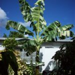 Bibit Pohon Pisang Variegata, Daunnya Belang Putih Sampai ke Buahnya