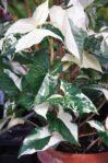 Bibit Syngonium Albo Variegata, Tanaman Syngonium Hijau-Putih Menawan