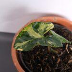 Bibit Syngonium Yellow Variegata, Daun Tanamannya Warna Hijau Kuning