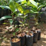 Bibit Pohon Kayu Manis Super, Cepat Tumbuh Besar & Menguntungkan