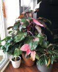 Bibit Tanaman Philodendron Pink Princess, Daunnya Berwarna Pink Syantik
